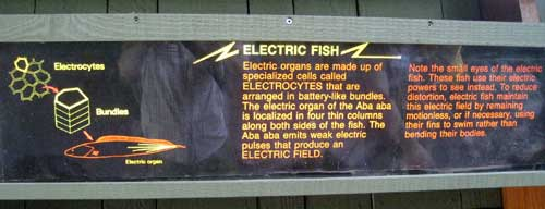 electric fish explain